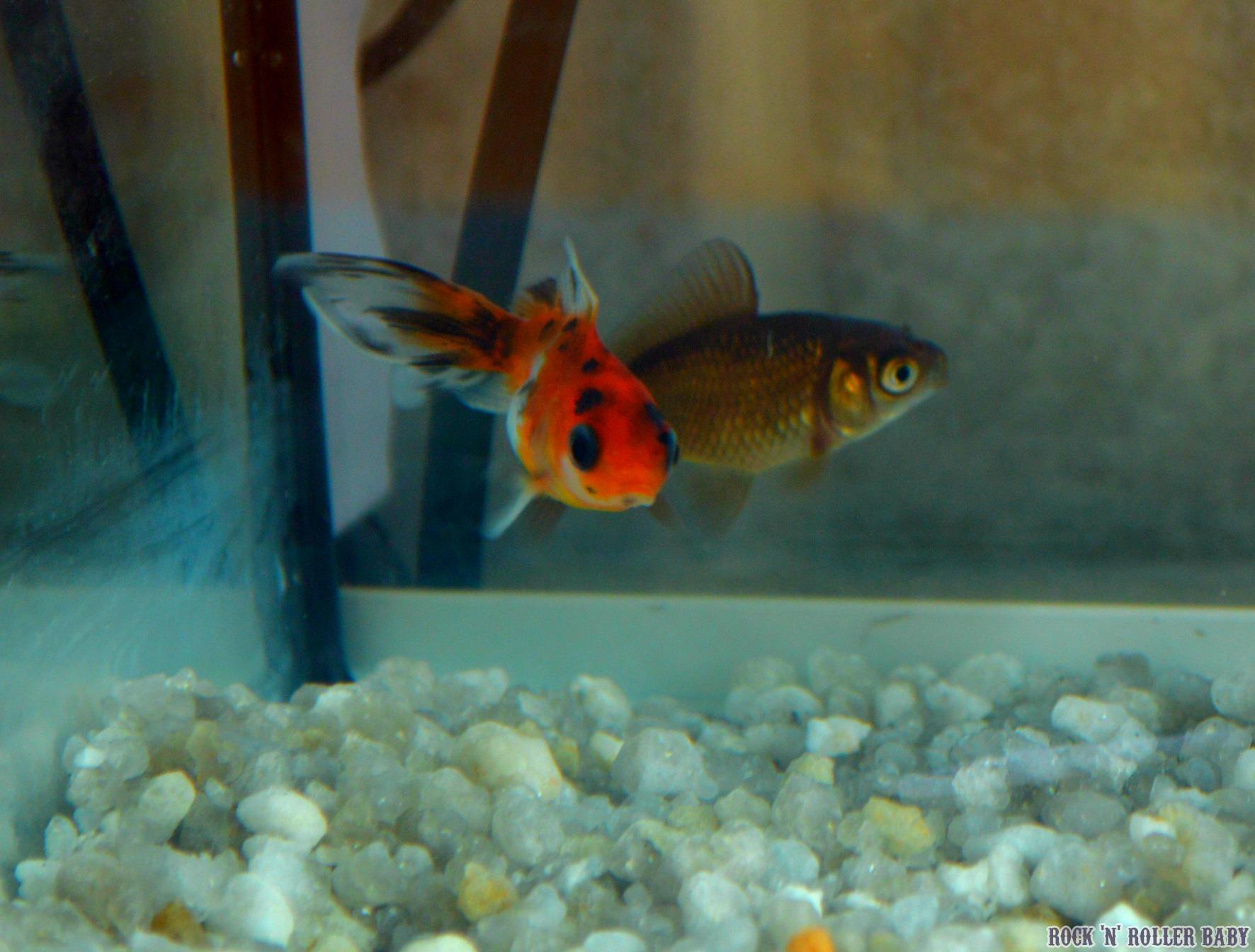 Peppa pig aquarium rocknrollerbaby for Names for pet fish